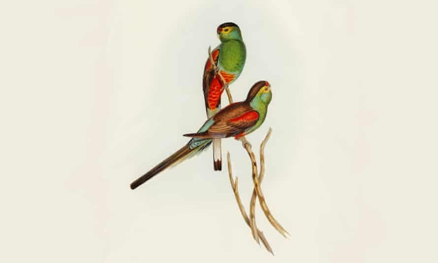 The Paradise parrot, illustrated by Elizabeth Gould in John Gould's Birds of Australia