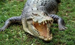 Saltwater crocodile Northern Territory Australia