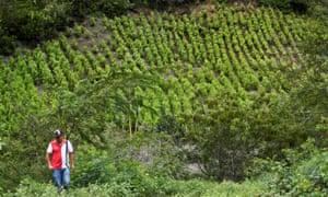 A man walks near a field of coca in Colombia on 15 January 2017.