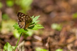 Speckled wood butterfly, Burley-in-Wharfedale, Yorkshire, UK