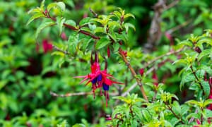 Fuchsia magellanica often appears as an escapee in hedgerows.