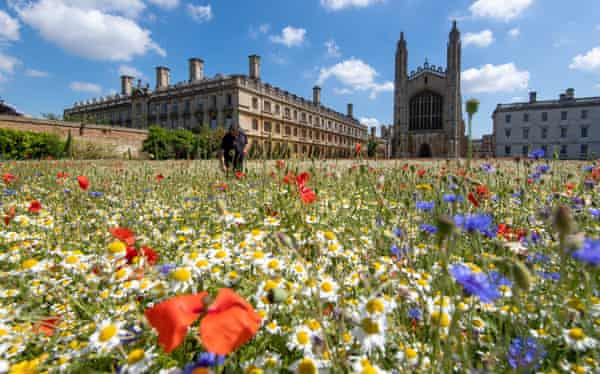 A wildflower meadow at King's College, Cambridge