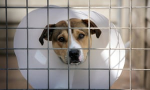 A homeless staffordshire bull terrier cross rescued by the RSPCA.