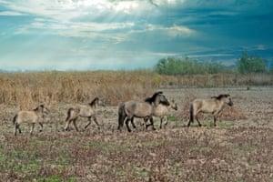 A herd of wild konik on Ermakov island.