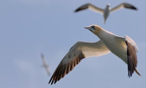 Northern gannets in the air