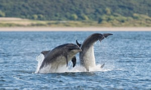 Bottlenose dolphin in the Moray Firth, Scotland.