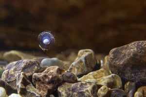 An olm egg floats in an aquarium in Postojna Cave, Slovenia
