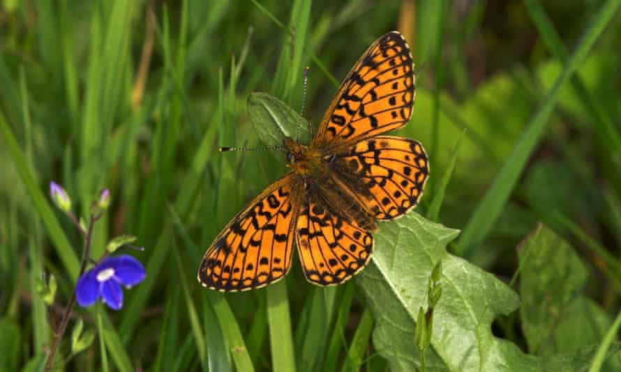 A small pearl-bordered fritillary butterfly.