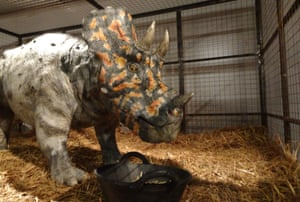 A baby Triceratops is cared for in the lab.
