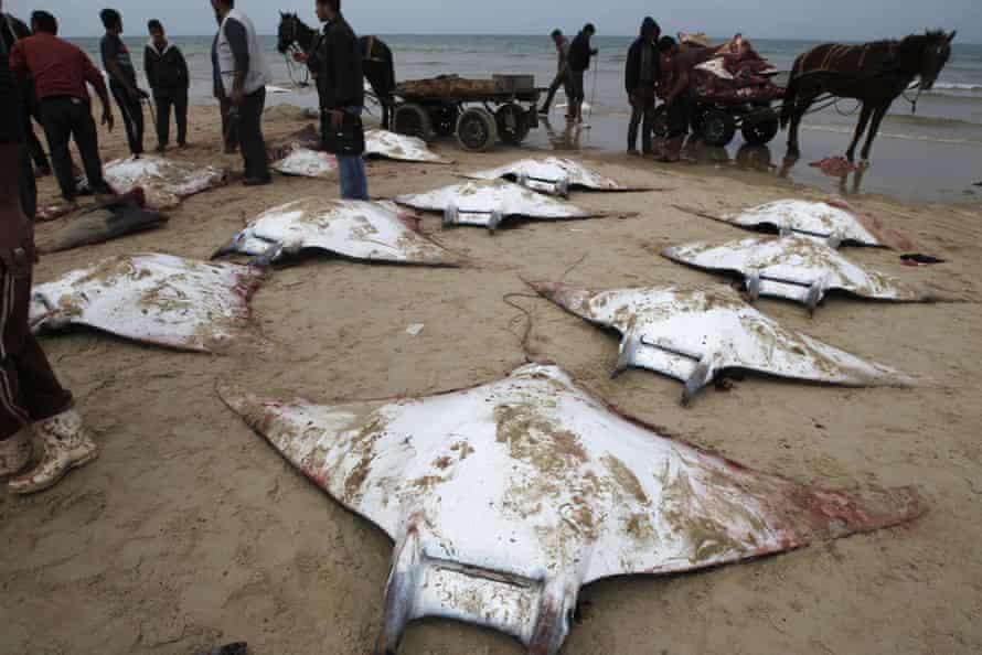 Fishermen gather manta rays washed up on the beach in Gaza City.