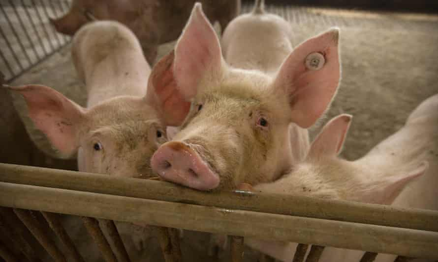 Healthy pigs at a farm in northern China