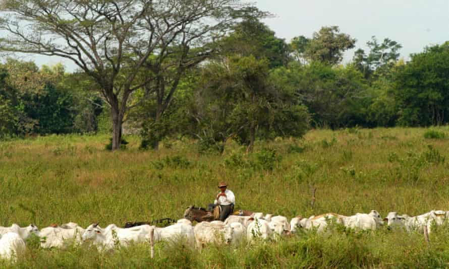 Cattle are mustered on the Vestey Grou's El Charcote property in in the state of Cojedes, Venezuela – one of the ranches nationalised by Hugo Chávez.