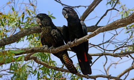The south-eastern red-tailed black cockatoo.