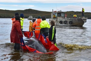 Macquarie Harbor, Australia Rescuers move a whale to a boat to be taken back to sea on the rugged west coast of Tasmania, as Australian rescuers were forced to begin euthanising some surviving whales from a mass stranding that has already killed 380 members of the pod