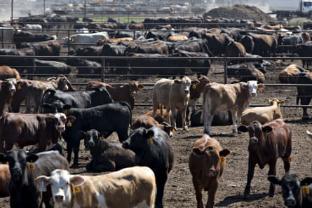 Beef cattle in Texas, 2018.