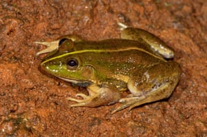 A newly discovered Karaavali skittering frog whose call was mistaken for a bird