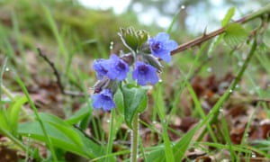"""""""One plant has only bright blue florets"""" – narrow-leaved lungwort in the New Forest."""