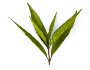 The plant Justica gendarussa