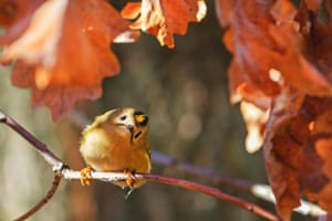 A goldcrest on an oak branch in the Czech Republic