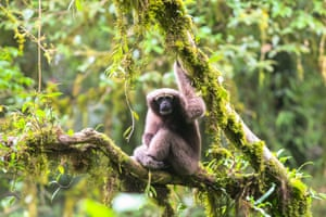 A female hoolock gibbon tianxing – a newly discovered species of gibbon in Yunnan, China