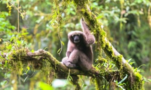 A female Hoolock tianxing gibbon, a newly discovered species in Yunnan, China
