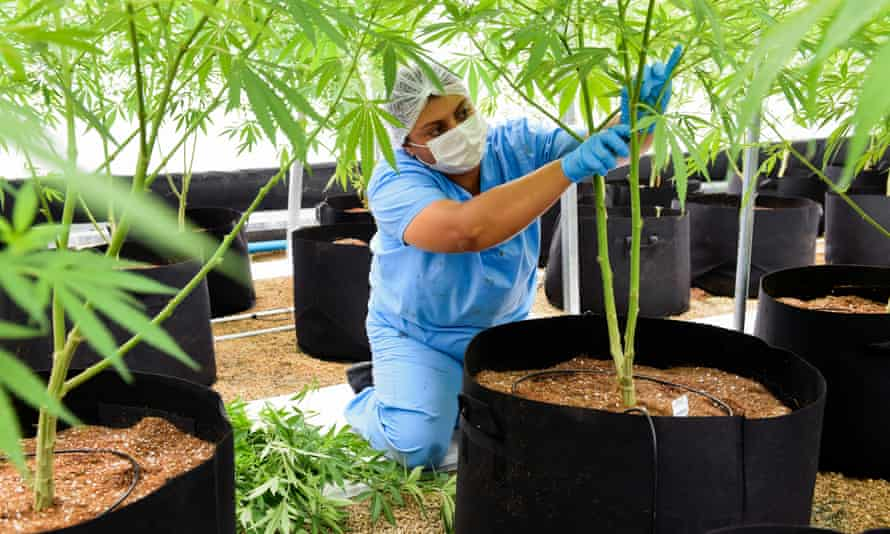 Pruning a marijuana plant at a facility in Uruguay, which will be harvested for cannabis oil.