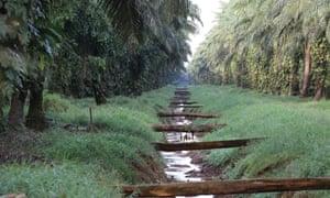 Palm oil plantation near Walindi.