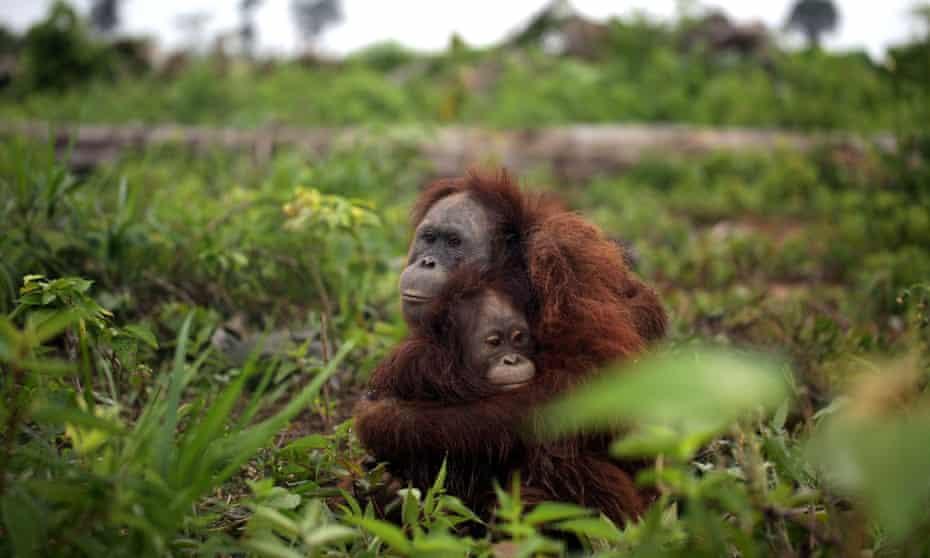 A mother orangutan cuddles her baby daughter, in Kalimantan, Indonesia