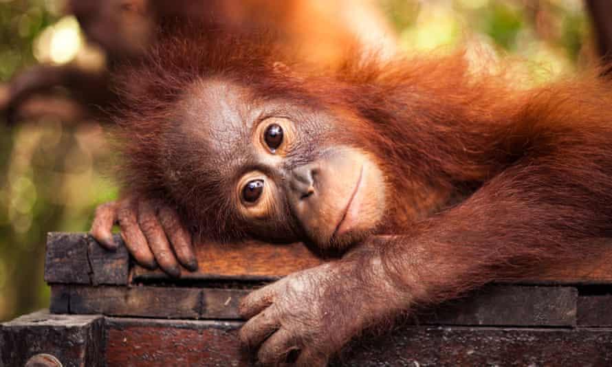 An orangutan in a 'forest school'.