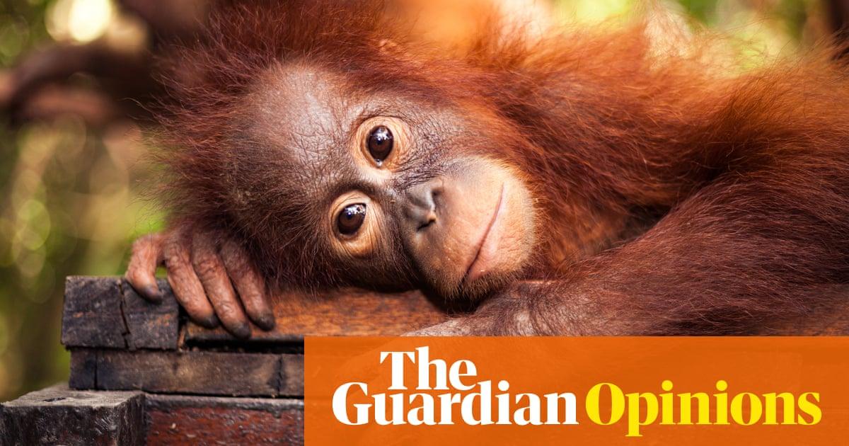 Palm oil is wiping out orangutans – despite multinationals' promises | Chris Packham