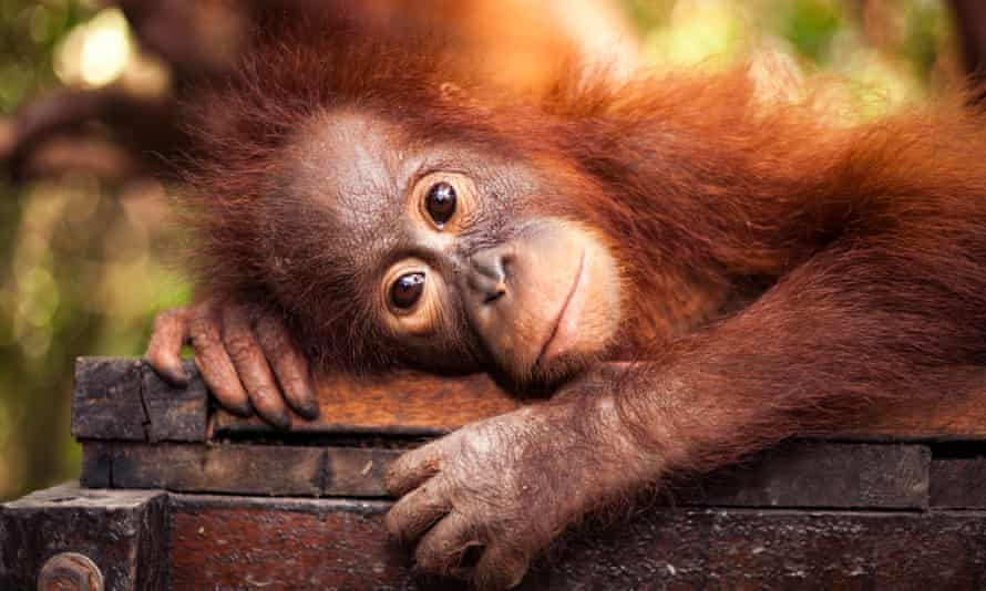 A scene from BBC2 documentary Red Ape: Saving the Orangutan.