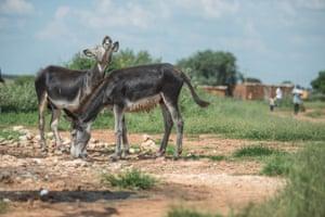 Donkeys graze in Magosane village in South Africa north-western farming region