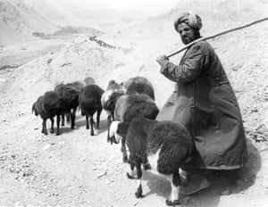 A shepherd in a rock valley with a herd of fat-tailed sheep stretching into the distance