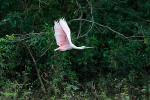 The roseate spoonbill uses its distinctive-shaped bill to feed in water by swinging it from side to side.