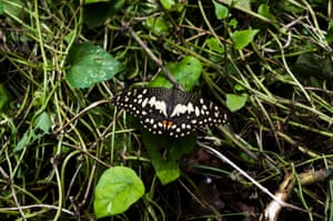 A lime butterfly camouflaged in grass in Tehatta in the Indian state of West Bengal