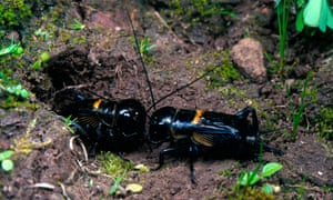 University of Exeter scientists studied the mating rituals of field crickets over 12 summers.