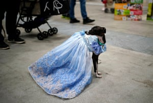 A greyhound appears wearing a dress