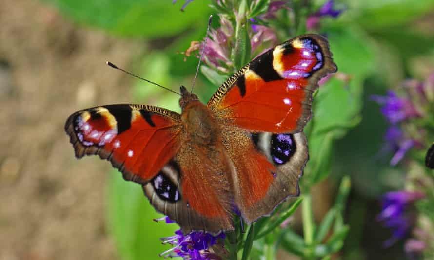 Peacock butterfly feeding on hyssop