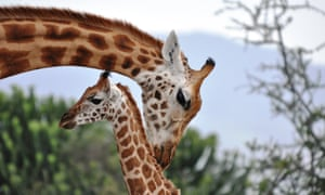 A Rothschild's giraffe tends to her baby in the Soysambu Conservancy in the Rift Valley region of Kenya. Giraffes are attentive mothers and female adults in a group are invested in each other's offspring. Giraffes are as socially complex as elephants, a University of Bristol study suggested this week.