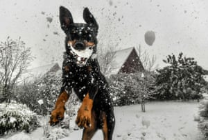 Godewaersvelde, France. A dog jumps to catch a snowball. France is also experiencing cold weather, with 32 regions placed on orange alert. In the Pas-de-Calais and Nord departments, some 20,000 homes were without power owing to high winds