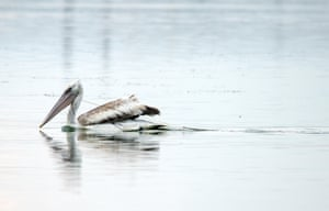 A pelican caught in a fishing net on one of Bulgaria's biggest lakes, Burgas