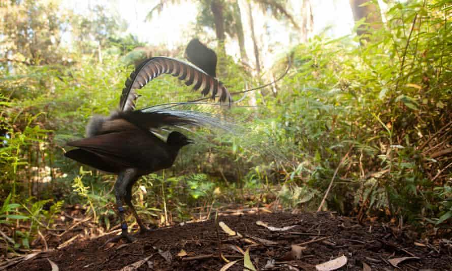 The male superb lyrebird.
