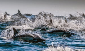 Dolphins off the coast of South Africa.
