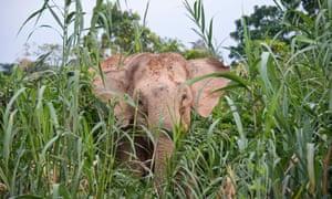 A Borneo pygmy elephant in tall grasses near the Kinabatangan river.