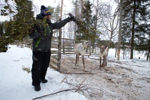 A treat after training, birch leaves are one of the reindeers' favourites.