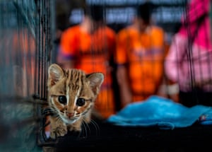 A juvenile leopard cat seized by authorities during an anti-smuggling operation in Surabaya, Indonesia