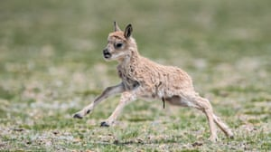 One of the Tibetan antelope calves at the reserve