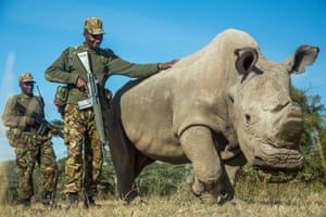 A northern white rhinoceros protected by armed guards in Kenya's Ol Pejeta Conservancy.