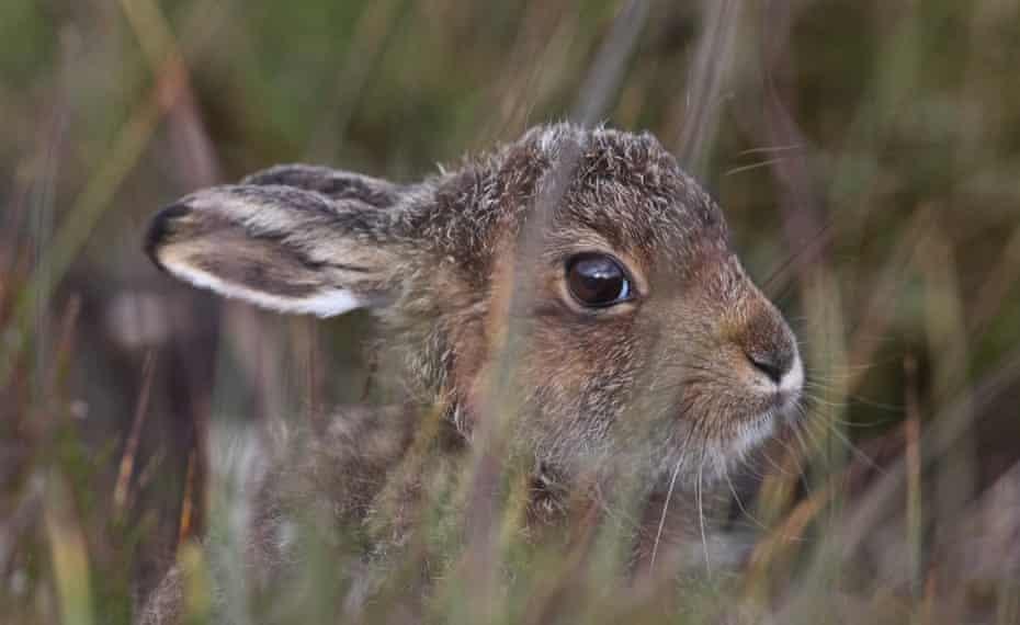 Mountain hare.