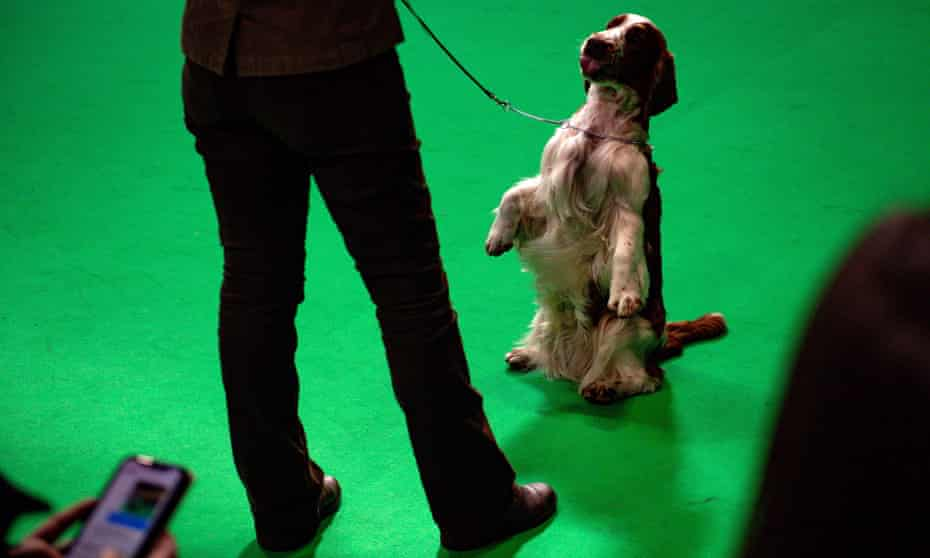 A Welsh springer spaniel dog on a lead sitting on its hind quarters on command at Crufts 2020.
